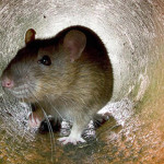 Does NYC Have Another Problem? Rats They Could Be A Concern