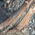 How to Find Fatwood a Natural Fire Starter