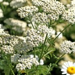 Yarrow and Its Many Medicinal Properties