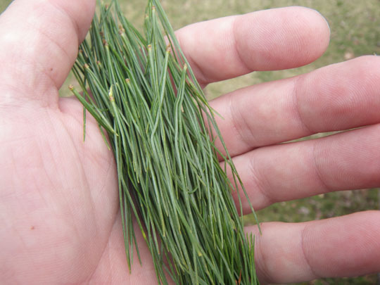 Pine Needle Bunch