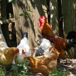8 Best Chicken Breeds For Preppers
