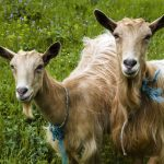 Beginners Guide to Raising & Milking Goats