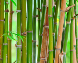 Bamboo Survival Uses