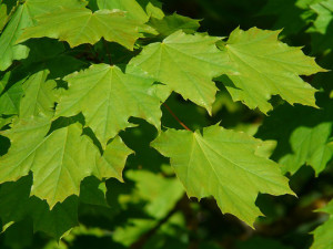 Green maple leaves for toilet paper