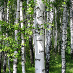 5 Trees Every Survivalist Should Know & Why