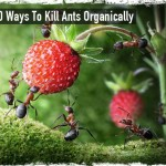 10 Ways To Kill Ants Organically
