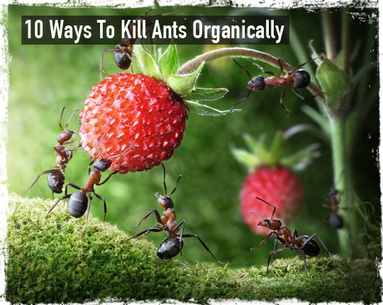 Kill ants organically