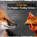 11 Plus Tips for Predator-Proofing Chickens