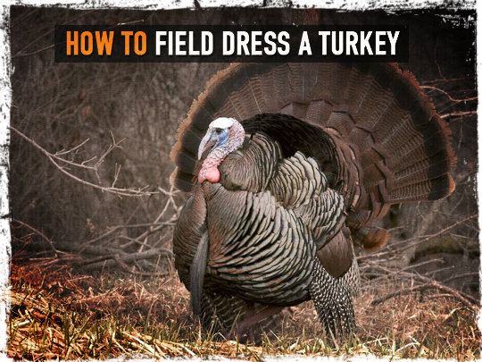 Field dress a turkey