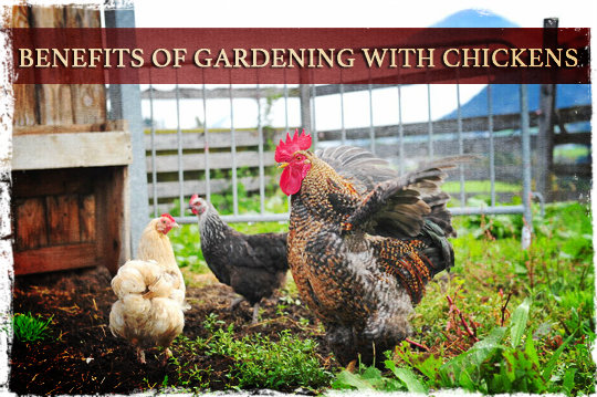 Benefits of Gardening with Chickens