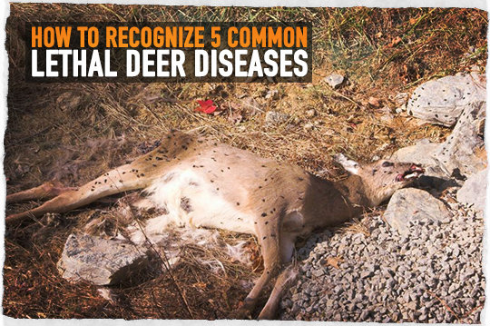 How to Recognize 5 Common Lethal Deer Diseases