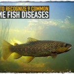 How to Recognize 9 Common Game Fish Diseases