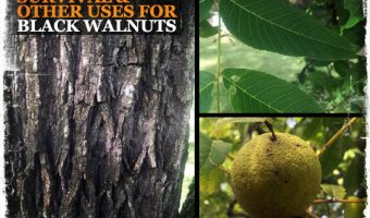 Survival and Other Uses for Black Walnuts