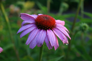 Echinacea - Medicinal Plants