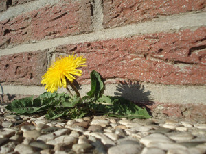 Urban Foraging Dandelion