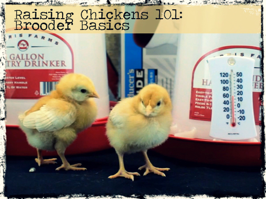 Raising Chickens 101:  Brooder Basics