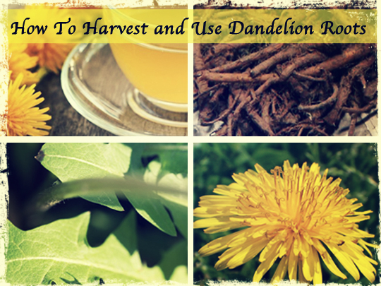 How To Harvest and Use Dandelion Roots