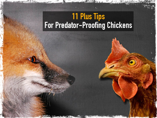 Chicken Predator Tips