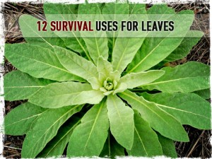 Survial Uses for Leaves