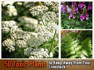 Toxic plants for livestock